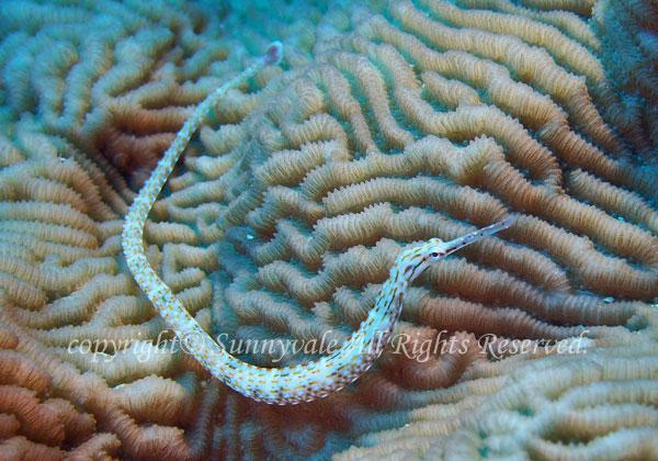 クチナガイシヨウジ 学名:Corythoichthys schultzi