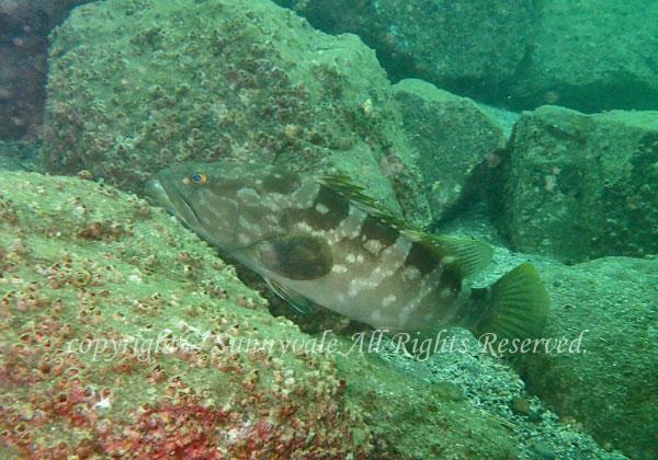 クエ 学名:Epinephelus bruneus
