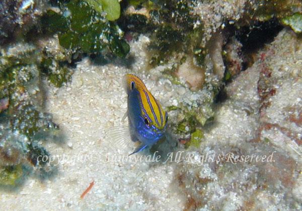クロメガネスズメダイ 幼魚 学名:Pomacentrus vaiuli