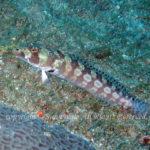 マダラトラギス 学名:Parapercis tetracantha
