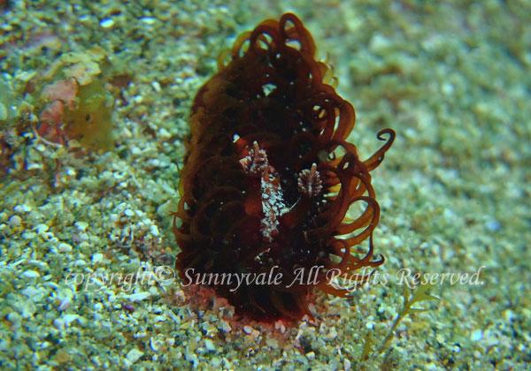 ショウジョウウミウシ 学名:Madrella ferruginosa