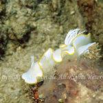 メレンゲウミウシ 学名:Ardeadoris egretta