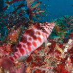ミナミゴンベ 学名:Cirrhitichthys aprinus