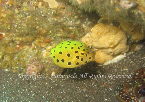 ミナミハコフグ 幼魚 学名:Ostracion cubicum