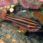 ミナミフトスジイシモチ 学名:Ostorhinchus nigrofasciatus