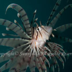 ミノカサゴ 学名:Pterois lunulata