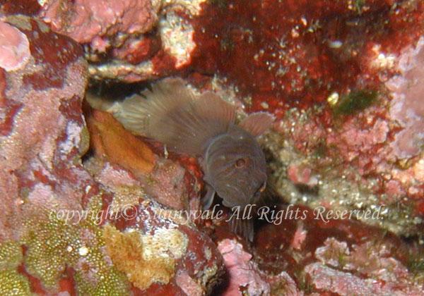 ミサキスジハゼ 学名:Priolepis borea
