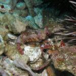 ミヤケテグリ 学名:Neosynchiropus moyeri