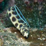 モヨウモンガラドオシ 学名:Myrichthys maculosus