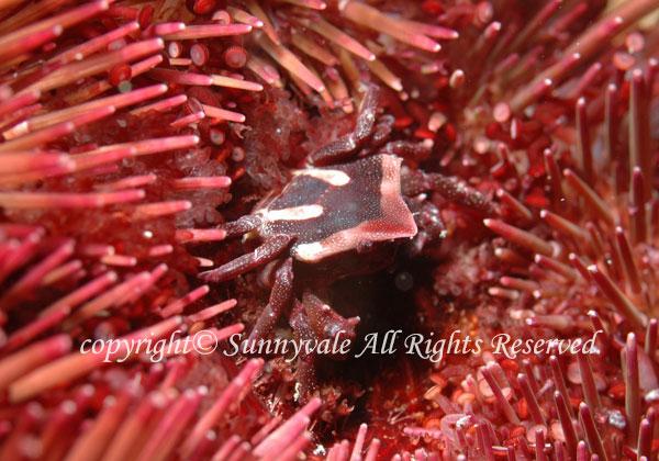 ムラサキゴカクガニ 学名:Echinoecus pentagonus