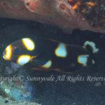 ムスジコショウダイ 幼魚 学名:Plectorhinchus vittatus