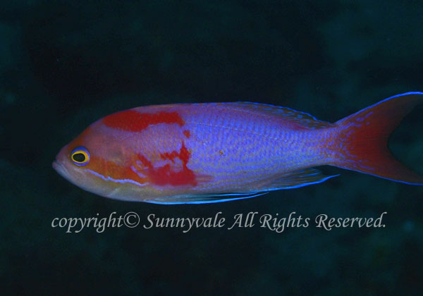 ナガハナダイ 学名:Pseudanthias elongatus