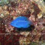 ナガサキスズメダイ 幼魚 学名:Pomacentrus nagasakiensis
