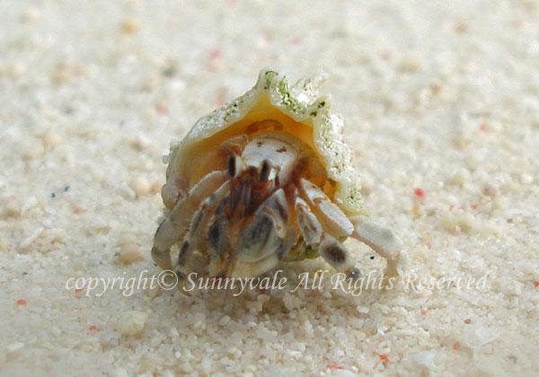 ナキオカヤドカリ 学名:Coenobita rugosus