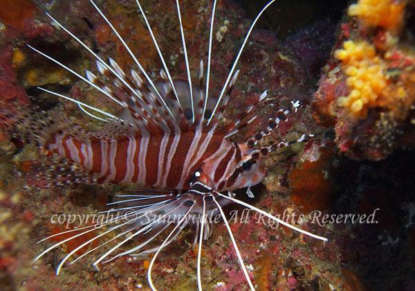 ネッタイミノカサゴ 学名:Pterois antennata