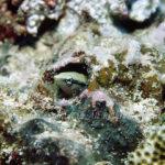 ニセクロスジギンポ 学名:Aspidontus taeniatus