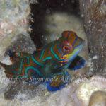 ニシキテグリ 学名:Pterosynchiropus splendidus