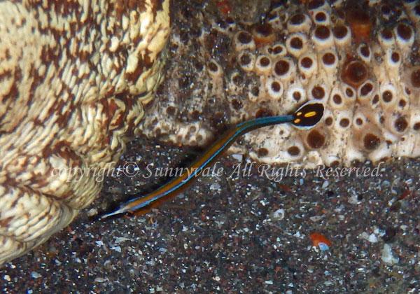 ノコギリヨウジ 学名:Doryrhamphus japonicus