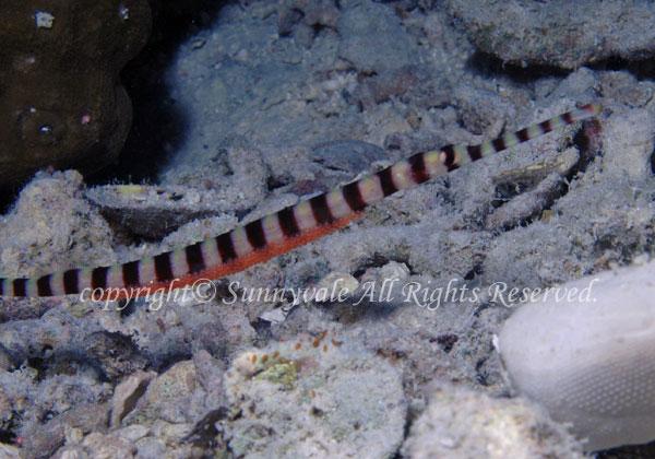 オイランヨウジ 学名:Doryrhamphus dactyliophorus