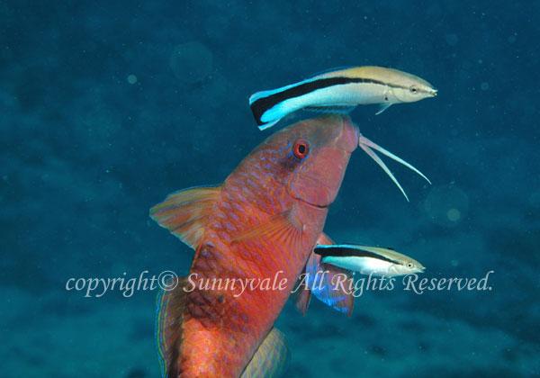 オジサン 学名:Parupeneus multifasciatus