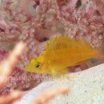オキゴンベ 幼魚 学名:Cirrhitichthys aureus