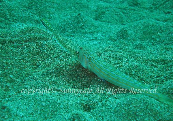 オキエソ 学名:Trachinocephalus trachinus