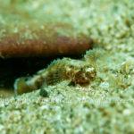 オキナワハゼ属の一種 学名:Callogobius sp