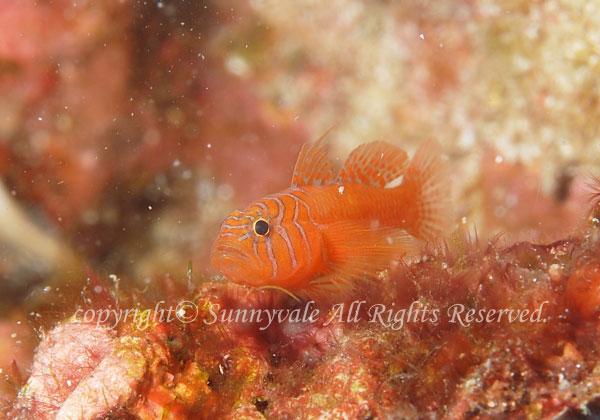 オレンジリーフゴビー 学名:Priolepis nuchifasciata