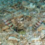 レッドバンデッドプラウンゴビー 学名:Amblyeleotris fasciata