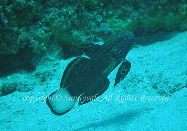 サラサハゼ 学名:Amblygobius phalaena