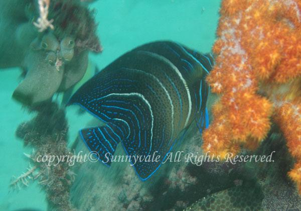 サザナミヤッコ若魚 学名:Pomacanthus semicirculatus