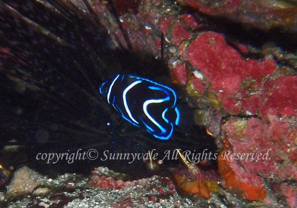 サザナミヤッコ幼魚 学名:Pomacanthus semicirculatus