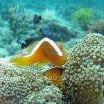 セジロクマノミ 学名:Amphiprion sandaracinos
