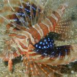 セトミノカサゴ 学名:Parapterois heterura
