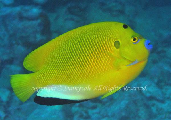 シテンヤッコ 学名:Apolemichthys trimaculatus