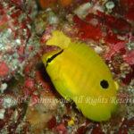シテンヤッコ 幼魚 学名:Apolemichthys trimaculatus
