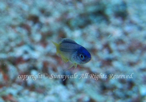 ソラスズメダイ 幼魚 学名:Pomacentrus coelestis