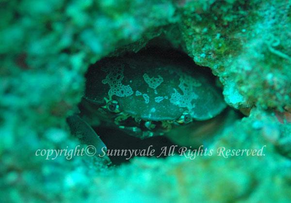 スベスベマンジュウガニ 学名:Atergatis floridus