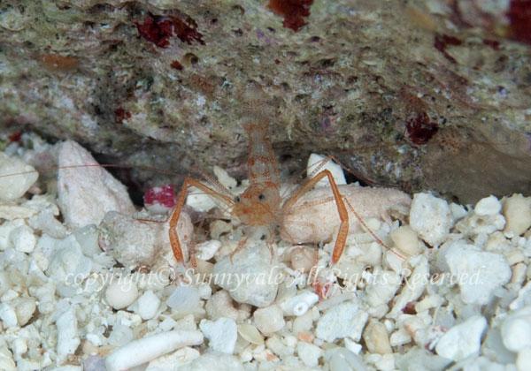 スベスベオトヒメエビ属の一種 学名:Odontozona sp