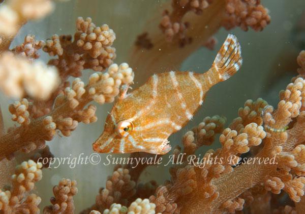 スダレカワハギ 学名: Acreichthys radiatus