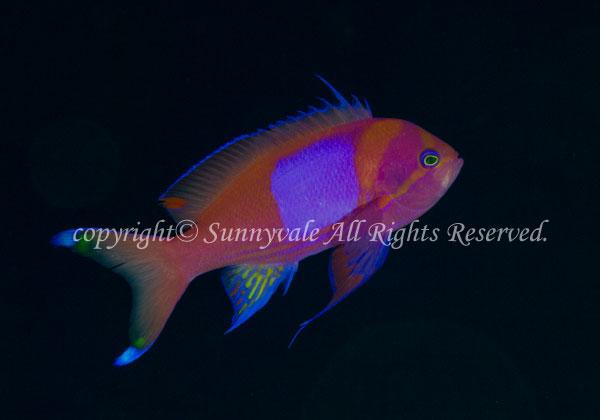 スミレナガハナダイ・オス 学名:Pseudanthias pleurotaenia