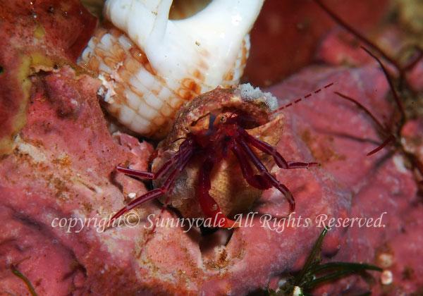 スミレヒメホンヤドカリ 学名:Pagurixus purpureus