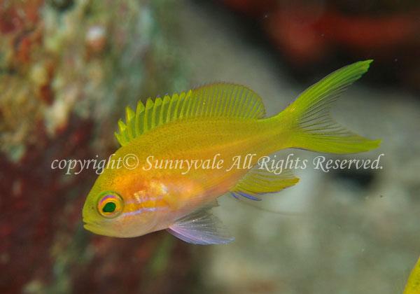 スミレナガハナダイ・メス 学名:Pseudanthias pleurotaenia