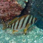 タカノハダイ 学名:Goniistius zonatus