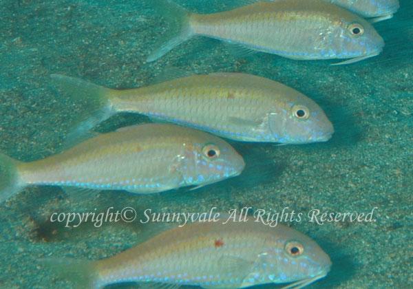 タカサゴヒメジ 学名:Parupeneus heptacathus