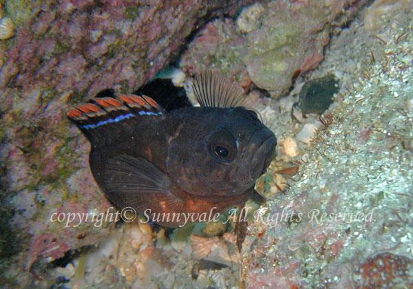 タナバタウオ 学名:Plesiops coeruleolineatus