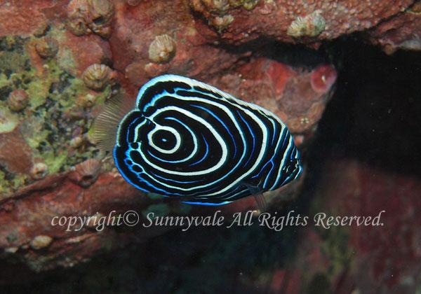 タテジマキンチャクダイ幼魚 学名:Pomacanthus imperator