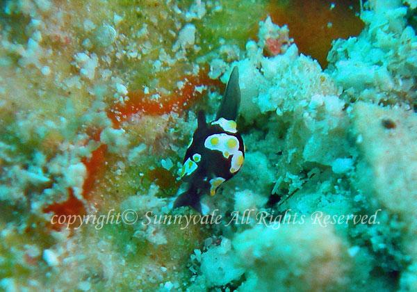 トンプソンコトリガイ 学名:Colpodaspis thompsoni