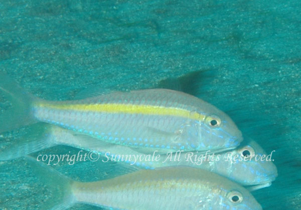 ウミヒゴイ 学名:Parupeneus chrysopleuron