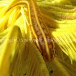 ウミシダウバウオの仲間 学名:Discotrema sp